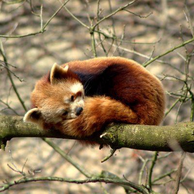 Red Panda Report